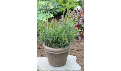 Hecke »Kiefer Pinus mugo mughus«, Höhe: 15 - 20 cm, 3 Pflanzen kaufen