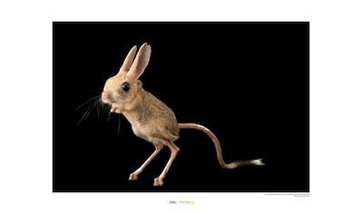 Komar Poster »Four-toed Jerboa«, Tiere, Höhe: 30cm kaufen