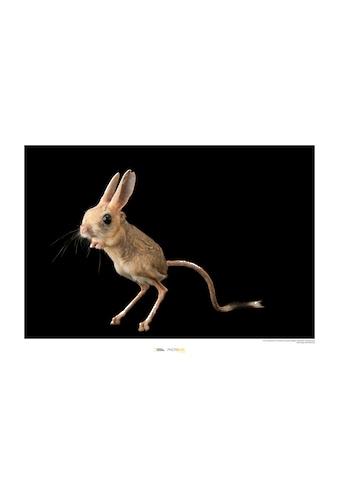 Komar Poster »Four-toed Jerboa«, Tiere, Höhe: 30cm kaufen