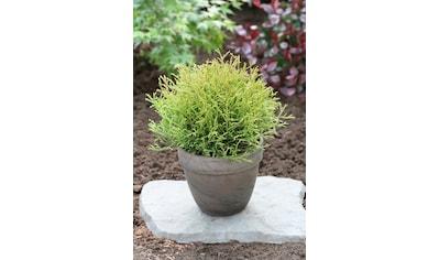 Hecke »Lebensbaum Mr. Bowling Ball«, Höhe: 20 - 25 cm, 3 Pflanzen kaufen
