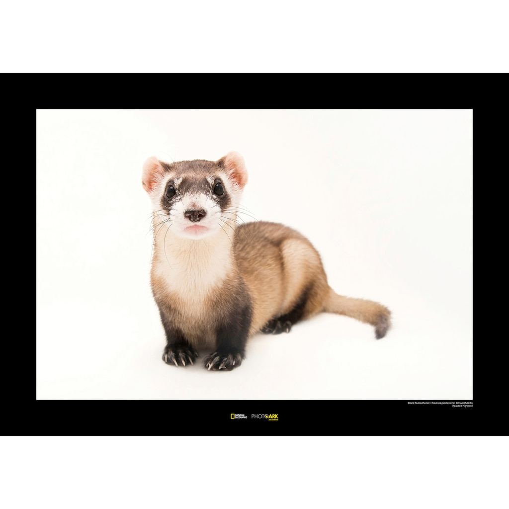 KOMAR Wanddekoration »Black-footed Ferret«