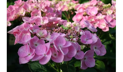 BCM Hortensie »Messalina«, Höhe: 30 - 40 cm, 1 Pflanze kaufen