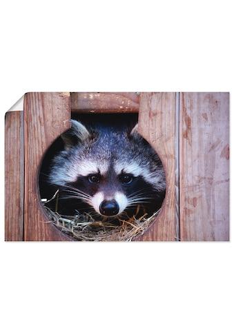 Artland Wandbild »Niedlicher kleiner Waschbär«, Wildtiere, (1 St.), in vielen Größen &... kaufen