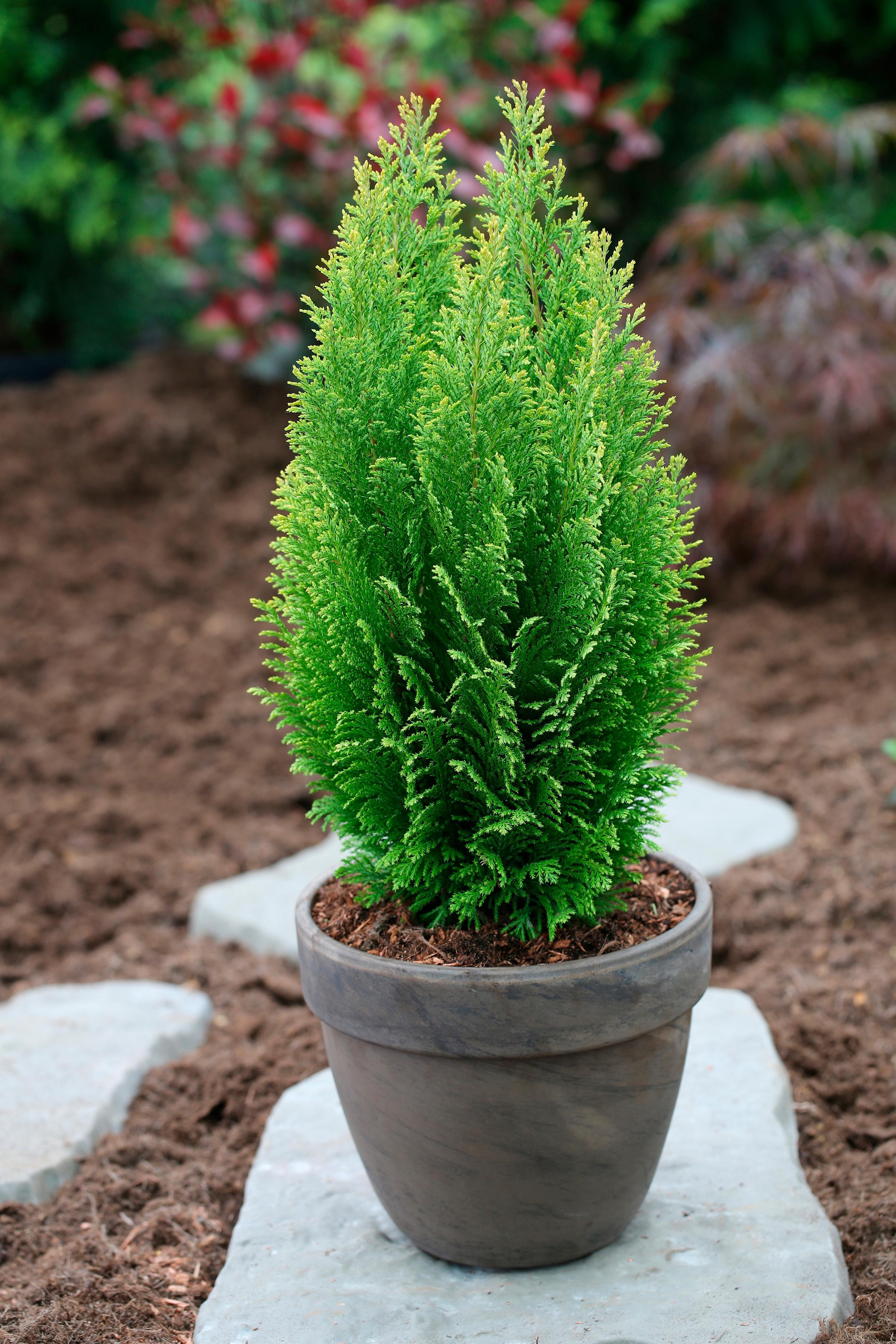 Hecke »Scheinzypresse Ellwood´s Empire«, Höhe: 25-30 cm, 3 Pflanzen