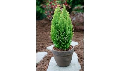 Hecke »Scheinzypresse Ellwood's Empire«, Höhe: 25 - 30 cm, 3 Pflanzen kaufen