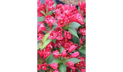 BCM Gehölze »Weigela 'All Summer Red' ®«, (Spar-Set), Lieferhöhe: ca. 40 cm, 3 Pflanzen kaufen