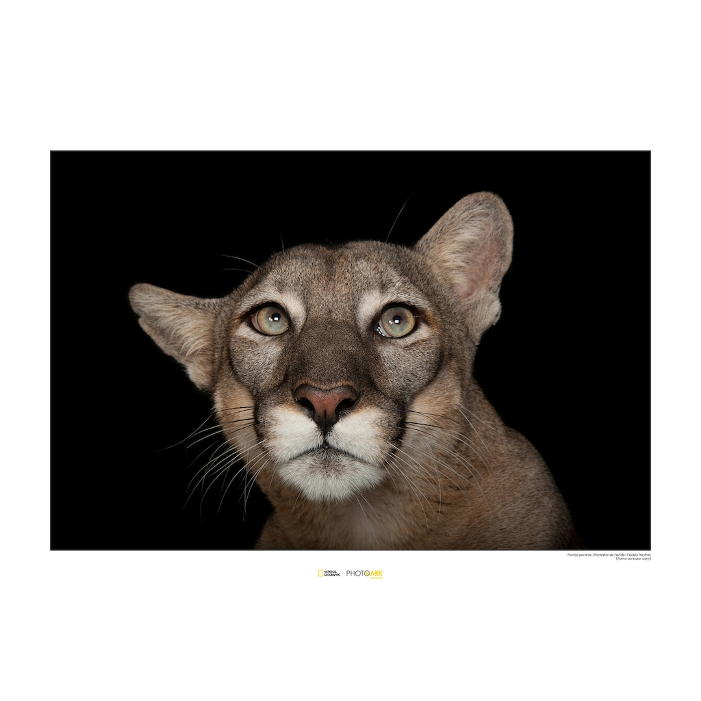 Komar Poster »Florida Panther Portrait«, Tiere, Höhe: 40cm
