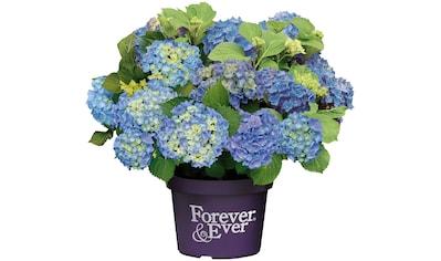BCM Gehölze »Hortensie Forever and Ever Blue«, Höhe: 30-40 cm, 1 Pflanze kaufen