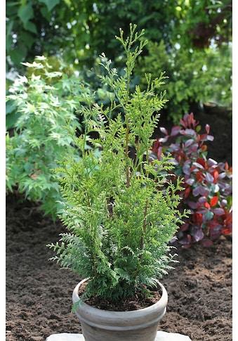 BCM Hecken »Lebensbaum Gelderland«, Höhe: 15 cm, 3 Pflanzen kaufen
