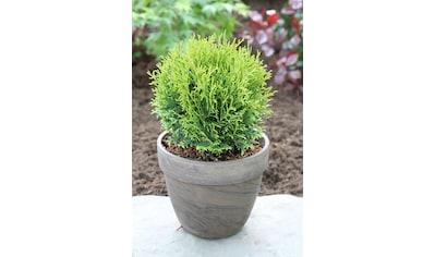 Hecke »Lebensbaum Tiny Tim«, Höhe: 15 - 20 cm, 6 Pflanzen kaufen