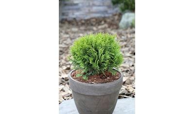 Hecke »Lebensbaum Danica«, Höhe: 20 - 25 cm, 3 Pflanzen kaufen
