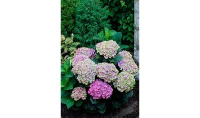BCM Gehölze »Hortensie Magical Coral Blue«, Höhe: 30-40 cm, 1 Pflanze kaufen