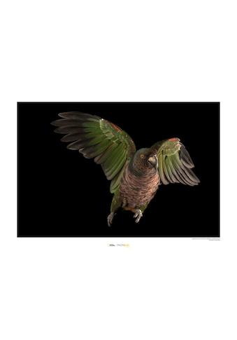 Komar Poster »Imperial Parrot«, Tiere, Höhe: 30cm kaufen