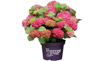 BCM Gehölze »Hortensie Forever and Ever Red«, Höhe: 30-40 cm, 1 Pflanze kaufen