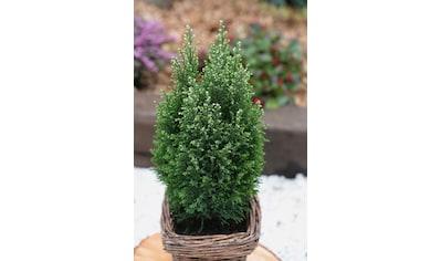 Hecke »Scheinzypresse Snow White«, Höhe: 20 - 25 cm, 3 Pflanzen kaufen