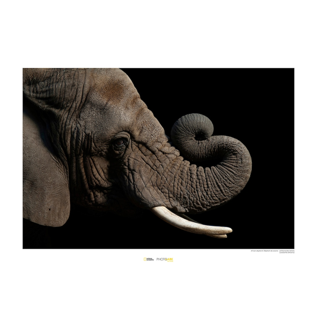 KOMAR Wanddekoration »African Elephant«