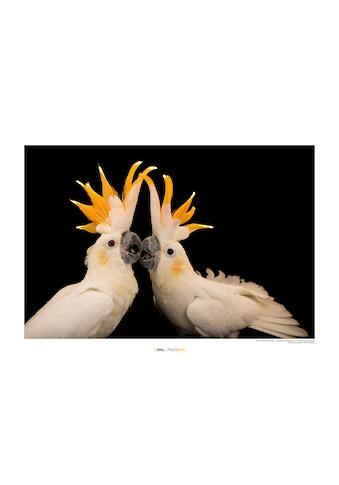 Komar Poster »Citron-crested Cockatoo«, Tiere, Höhe: 50cm kaufen