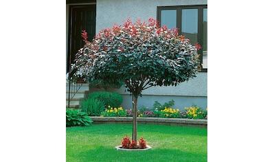 BCM Gehölze »Zwerg - Blut - Pflaume«, Höhe: 60 cm, 1 Pflanze kaufen