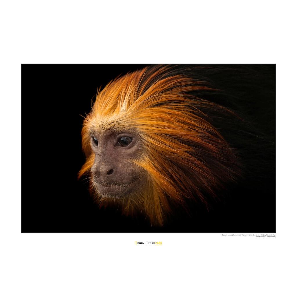 Komar Poster »Golden-headed Lion Tamarin«, Tiere, Höhe: 50cm