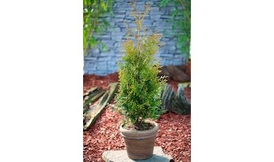 Hecke »Lebensbaum Brabant«, Höhe: 15 - 20 cm, 3 Pflanzen kaufen