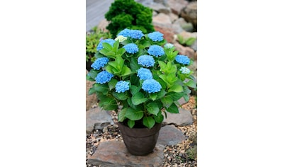 BCM Gehölze »Hortensie Magical Revolution Blue«, Höhe: 30-40 cm, 1 Pflanze kaufen