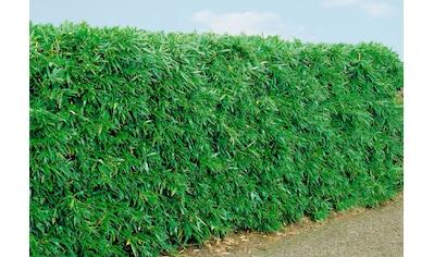 Bambus »Rufa« kaufen