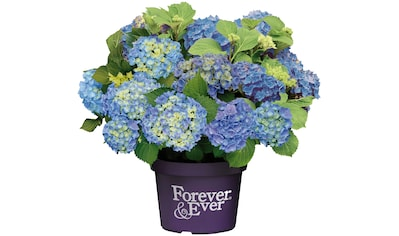 BCM Hortensie »Forever and Ever Blue«, Höhe: 30 - 40 cm, 1 Pflanze kaufen